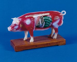 Akupunktur-Schwein