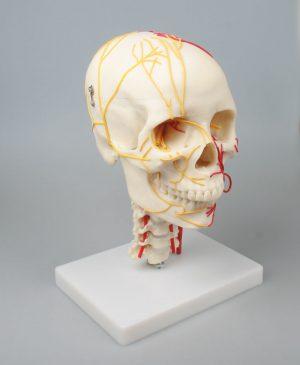 Neurovasculärer Schädel