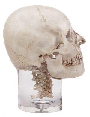 Röntgenphantom Kopf mit Halswirbeln, transparent