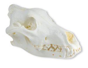 Schädel Wolf (Canis lupus), Alaska Wolf