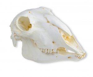 Schädel Hausschaf, weiblich (Ovis aries)