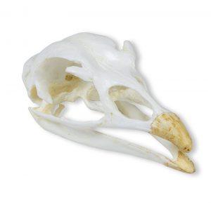Schädel Truthahn (Meleagris gallopavo)
