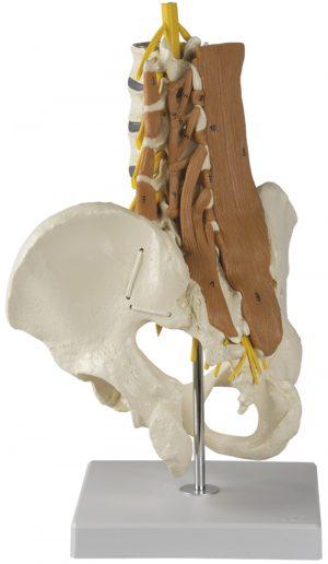 Becken, LWS mit Lendenmuskeln