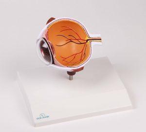 Augenhälfte vergrößert