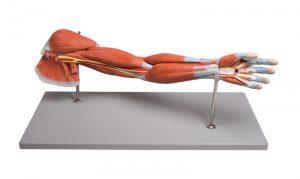 Armmuskulatur, 7-teilig
