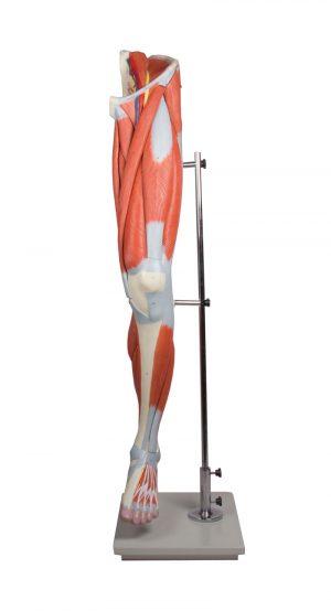 Beinmuskulatur, 13-teilig