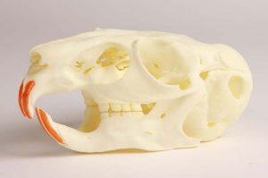 Chinchilla Schädel mit pathologischen Veränderungen, 2-fache Lebensgröße
